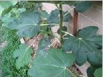 fig tree during year on