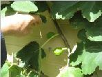fig tree during year two